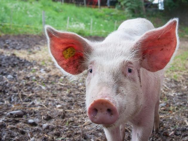 【子どもと一緒に見たい】アニメPeppa Pigで英語学習