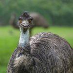 オーストラリアで有名な「飛べない鳥」3選