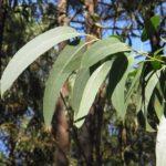 オーストラリアを代表する植物と言えば、何を思い浮かべますか?